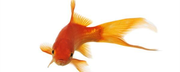金鱼能晒太阳吗,能晒多久的太阳