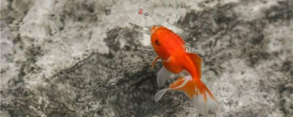 金鱼身上有白色霜状是什么原因,怎么治疗