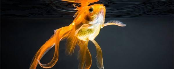 金鱼用什么水养,能用自来水吗