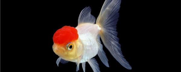 金鱼有哪些品种,金鱼品种介绍