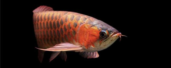 金龙鱼吃什么食物,多久喂食一次