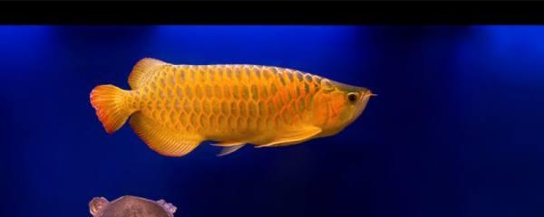 金龙鱼能活多久,多大可以繁殖