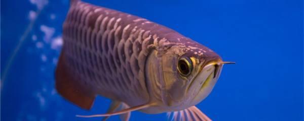 金龙鱼能长多大,一年能长多大