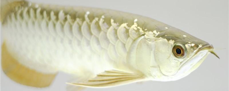 金龙鱼可以混养吗,可以和什么鱼混养