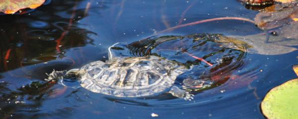 龟壳真菌感染怎么处理,龟壳真菌用什么药最好
