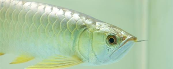 银龙鱼多久喂一次,喂什么食物