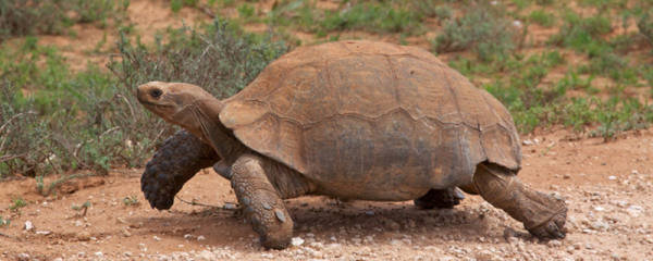 陆龟可以活多少岁,什么陆龟活得长