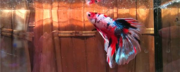 泰国斗鱼怎么繁殖,多大可以繁殖