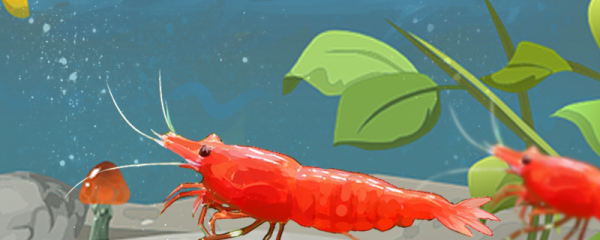 极火虾能长多大,多大可以繁殖