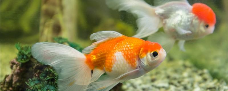 金鱼吃小鱼吗,可以和小型鱼混养吗