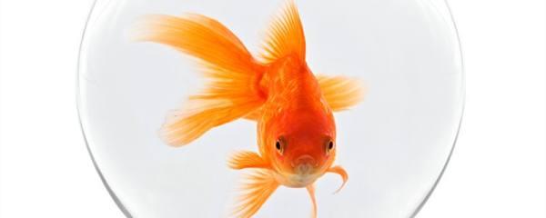 金鱼认识主人吗,会和主人互动吗