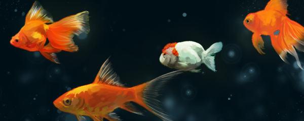 金鱼为什么会掉鱼鳞,掉鱼鳞怎么办