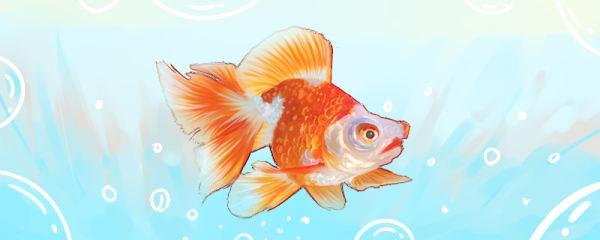 金鱼能活几年,怎么判断金鱼几岁了