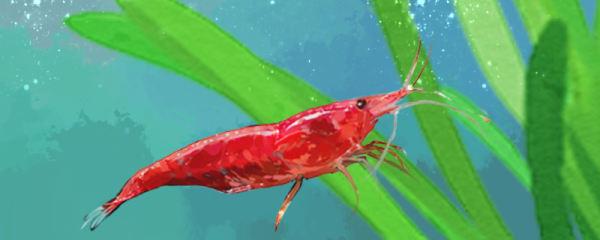 樱花虾和极火虾有什么区别,能一起养吗