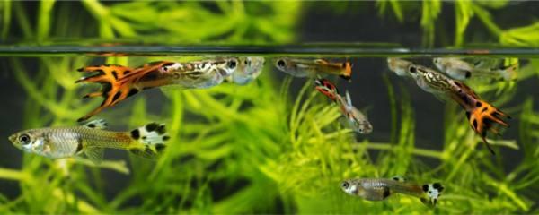 孔雀鱼胎斑是什么颜色的,出现胎斑后多久生