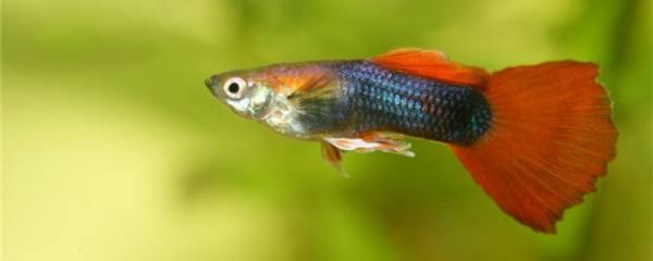 孔雀鱼食哪种好,可以喂红虫吗