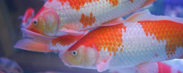 客厅适合养什么鱼,家里如何养鱼