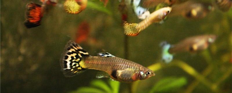 孔雀鱼喜欢静水还是动水,需要水流吗