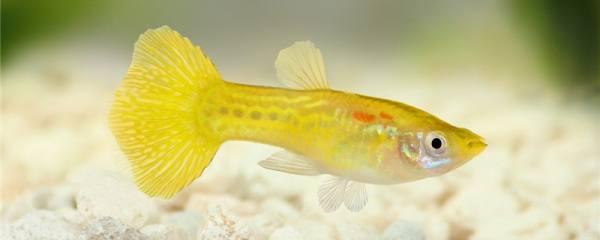 同一窝的孔雀鱼可以繁殖吗,会串种吗