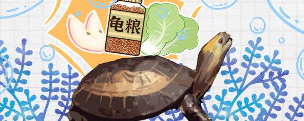 黄额闭壳龟吃什么,多久喂一次