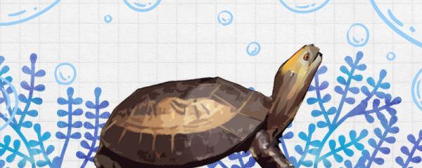 黄额闭壳龟能冬眠吗,什么时候冬眠