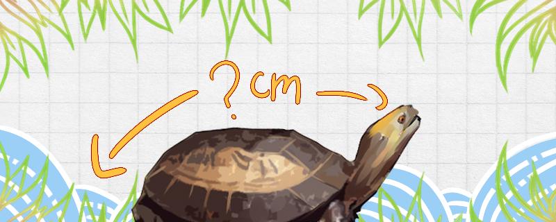 黄额闭壳龟能长多大,能活多久