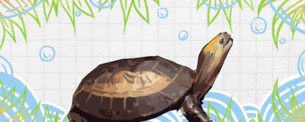 黄额闭壳龟是旱龟还是水龟,水深多少合适