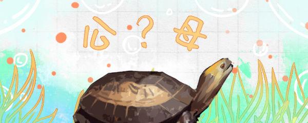 黄额闭壳龟怎么分公母,公母能一起养吗