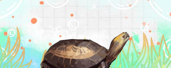 黄额闭壳龟好养吗,怎么养