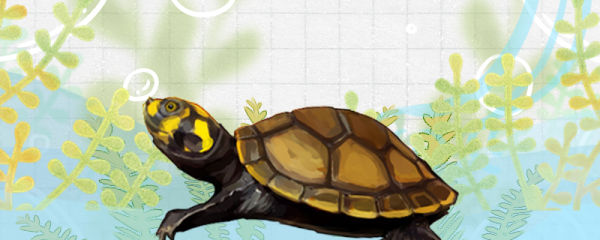 黄头侧颈龟多长时间喂一次,喂食喂多少