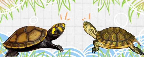 黄头侧颈龟能和其它龟混养吗,能和什么龟混养