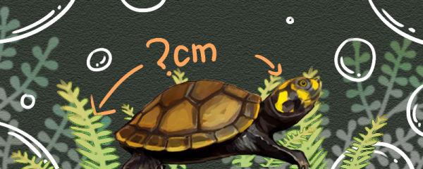 黄头侧颈龟能长多大,多大算成年龟