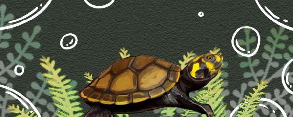 黄头侧颈龟是海龟吗,怕盐吗