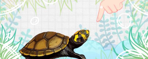 黄头侧颈龟认主人吗,养多久能认主人