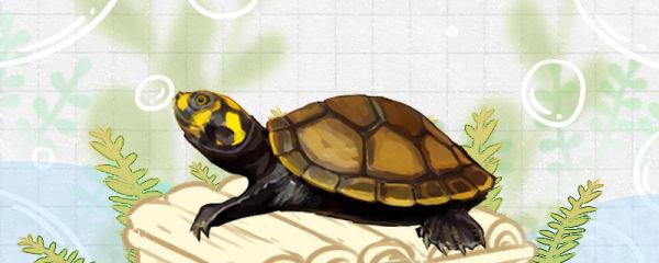 黄头侧颈龟需要晒台吗,需要晒背吗