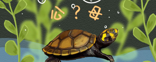 黄头侧颈龟怎么分公母,公母能一起养吗