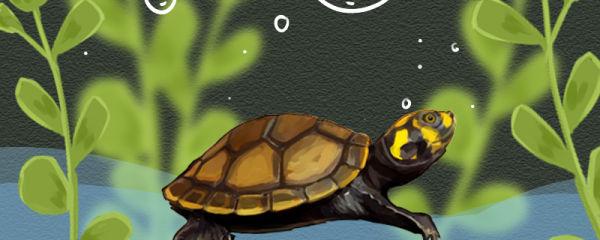 黄头侧颈龟怎么养,需要加热棒吗
