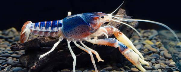 观赏虾不喂食会饿死么,观赏虾如何喂食