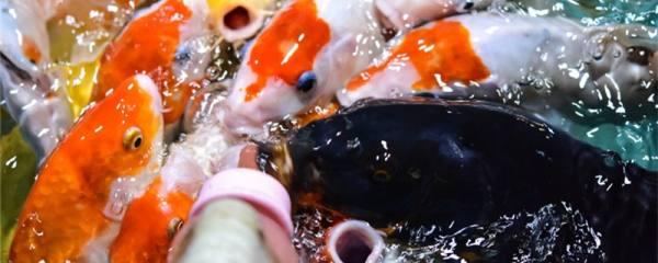 冷水观赏鱼有哪些品种,冷水鱼怎么养
