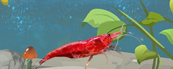 观赏虾吃鱼饲料吗,如何给虾喂食