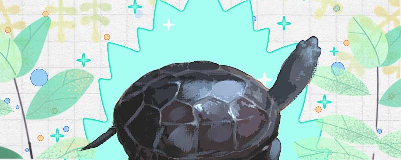 广东草龟好养吗,怎么养