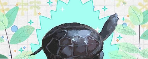 广东草龟吃什么,多久喂一次