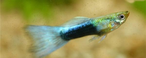 养孔雀鱼是裸缸还是放底砂,放什么底砂