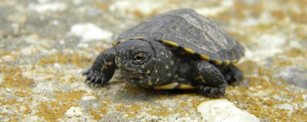 草缸能养乌龟吗,怎么养乌龟