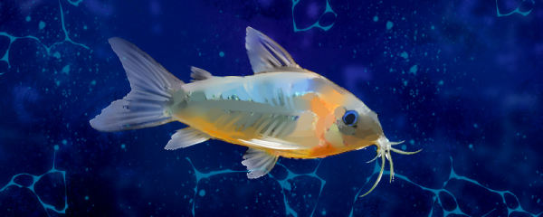 草缸能养鼠鱼吗,草缸能养什么鱼