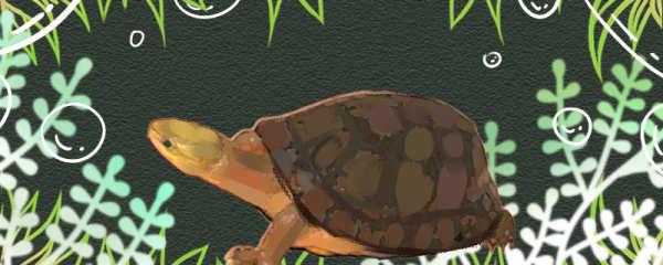 周氏闭壳龟好养吗,怎么养