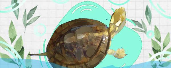 眼斑龟能深水养吗,水深多少合适
