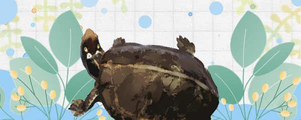 四眼斑水龟能长多大,能活多少年