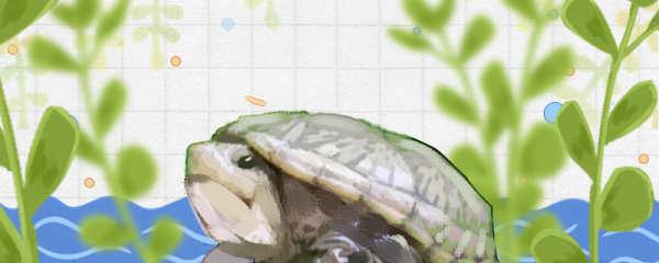三弦巨型鹰嘴泥龟好养吗,怎么养