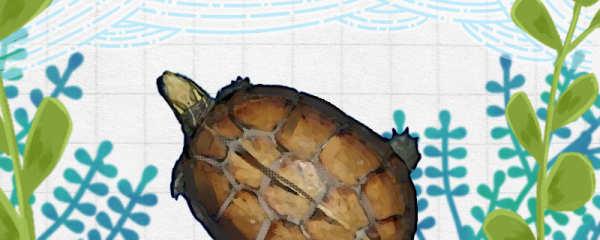拟眼斑龟能长多大,能活多少年